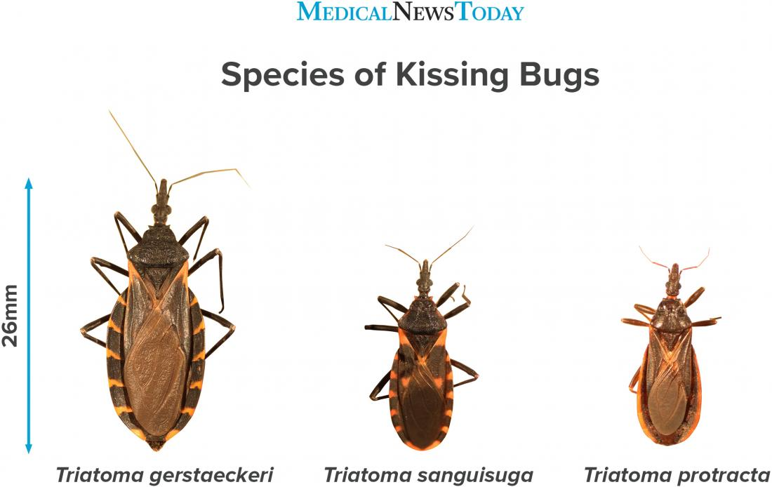 an infographic showing species of kissing bug