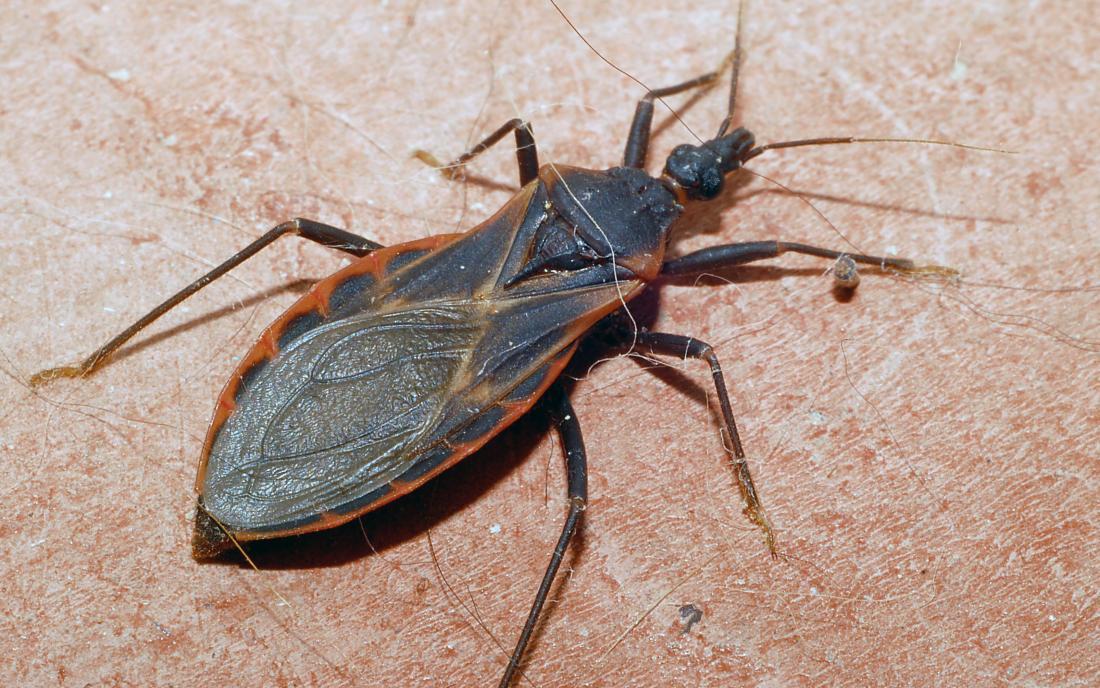 a kissing bug on some skin. Image credit: Glenn Seplak, 2007